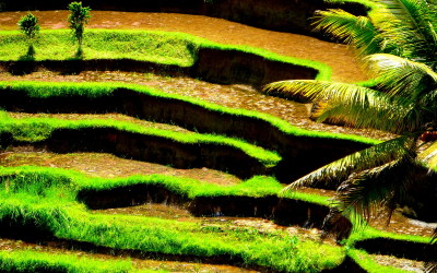 Bali. Rice fields